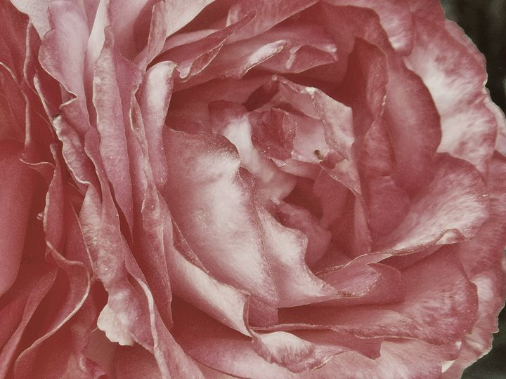 Scent Of A Rose - dadaart
