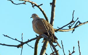 Early Morning Collared Dove