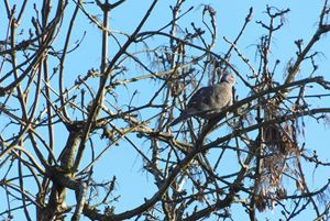 Sunning Collared Dove