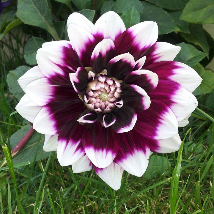 Purple Flower - Laura
