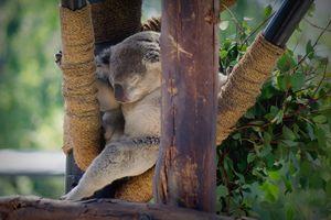 """""""Soft koala, warm koala"""""""