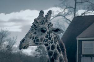 Giraffe in Winter - Sean Toler Photo