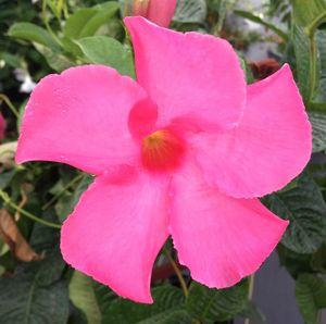Pink mandavilla