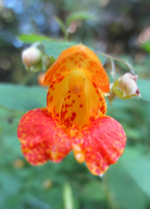 Wild Orchid - Élise