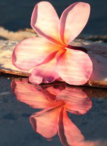 Plumeria Reflection