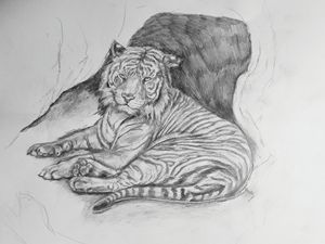 Tiger Study in Pencil