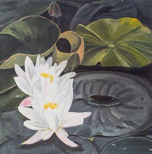 White Waterlillies-DBG