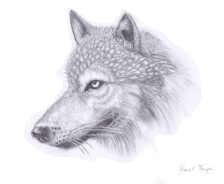 Wolf - himal3