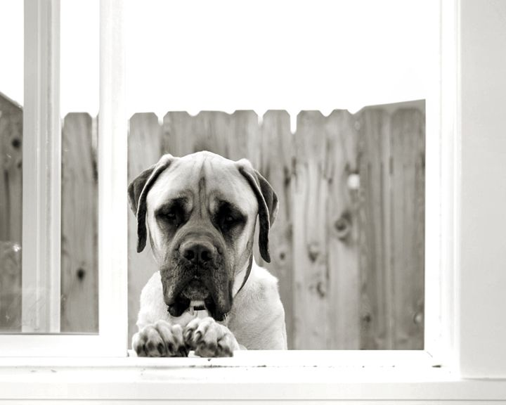 Dozer the Mastiff - Animals