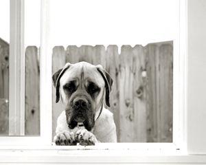 Dozer the Mastiff