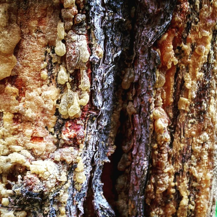 Tree Sap 1 - Amanda Hovseth