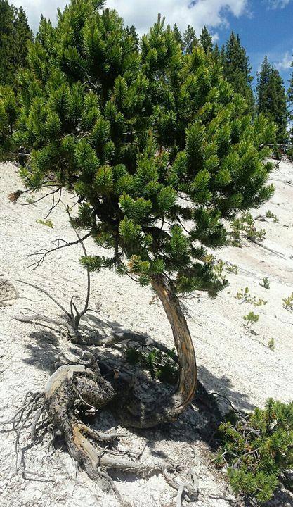 Sassy Tree 1 - Amanda Hovseth