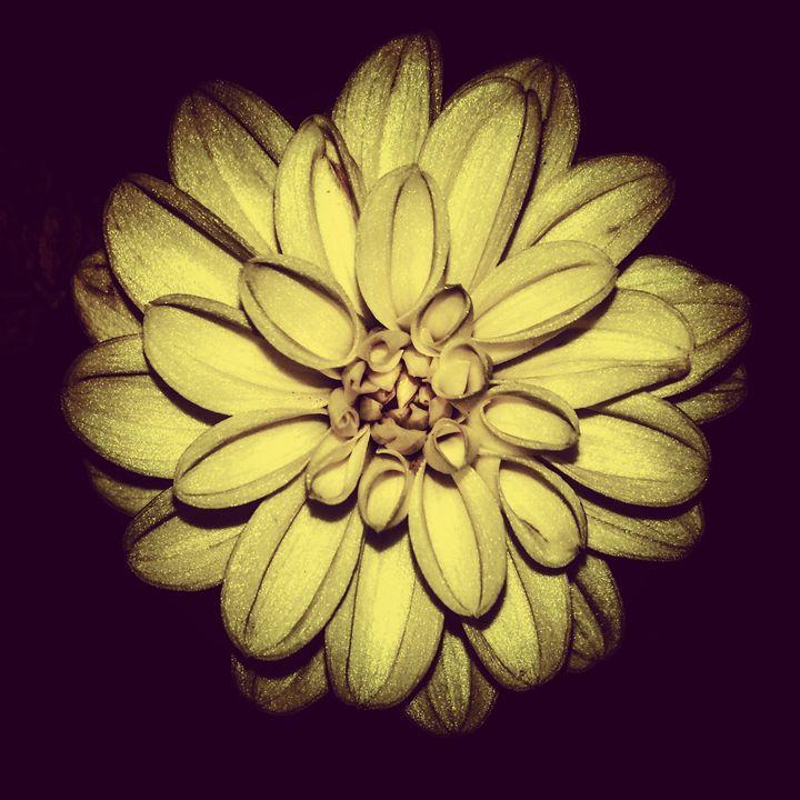 Shades of a Dahlia- 4 - Amanda Hovseth