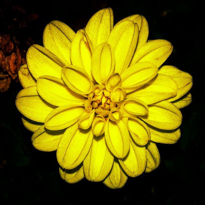 Shades of a Dahlia- 1 - Amanda Hovseth