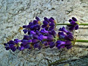 lavender on white stone