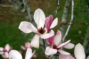 The Purple Magnolia