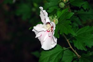 White and Violet Rose of Sharon