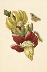 [Banana tree flower (Musa paradisiac