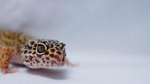 Leopard Gecko Macro