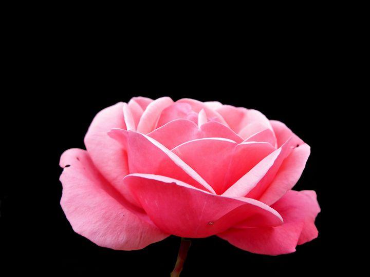 Pink Rose - Rogers Art Shop