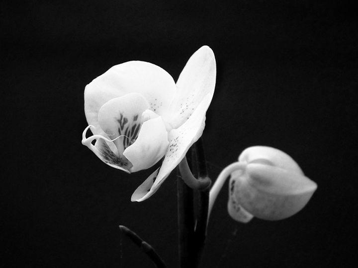 Phaleonopsis 4 - Rogers Art Shop