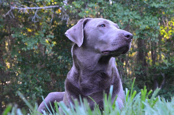 """Silver Labrador """"Snowflake"""" - Mullucan"""