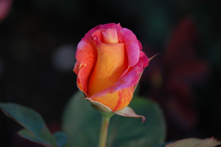 Roses of Sunset! - NorthShoreSDT