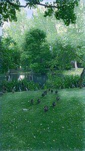 Ducks in a country garden