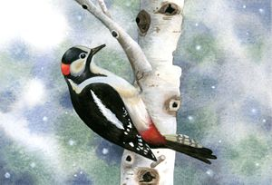 Woodpecker on White Birch