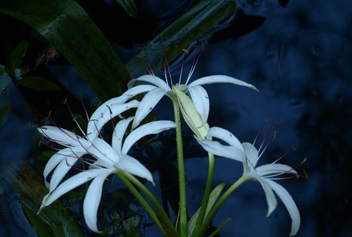 Water Flower - JAJ Photography