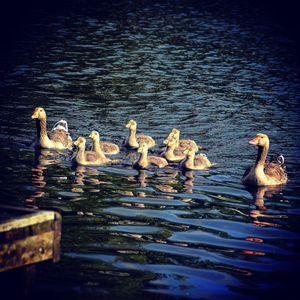 family of geese - stephanie meehan