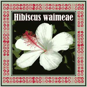 Hibiscus Waimeae Square - Catherine Sherman