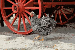 Barred Plymouth Rock Chicken - Catherine Sherman