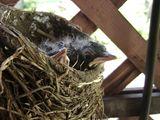 Birds robins