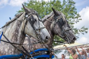 Two White Horses at Parade