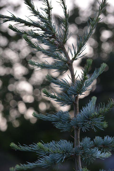 Little spruce sapling - Suzanne Morrison