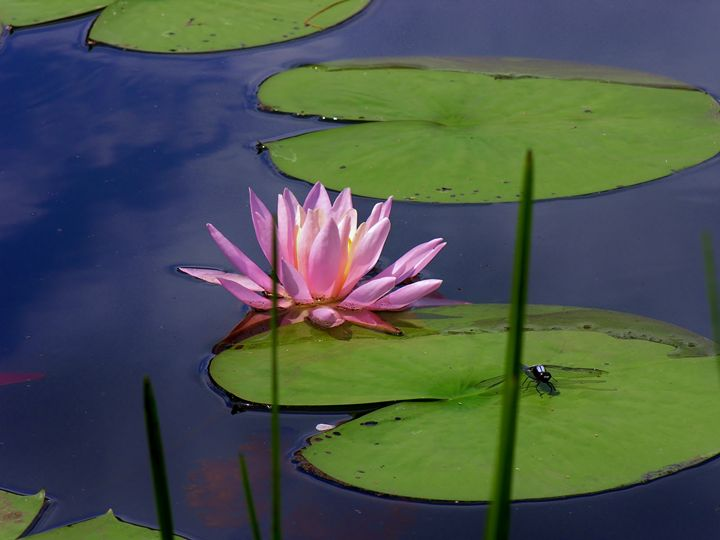 Lily and Dragonfly - Sherm's Photo Service