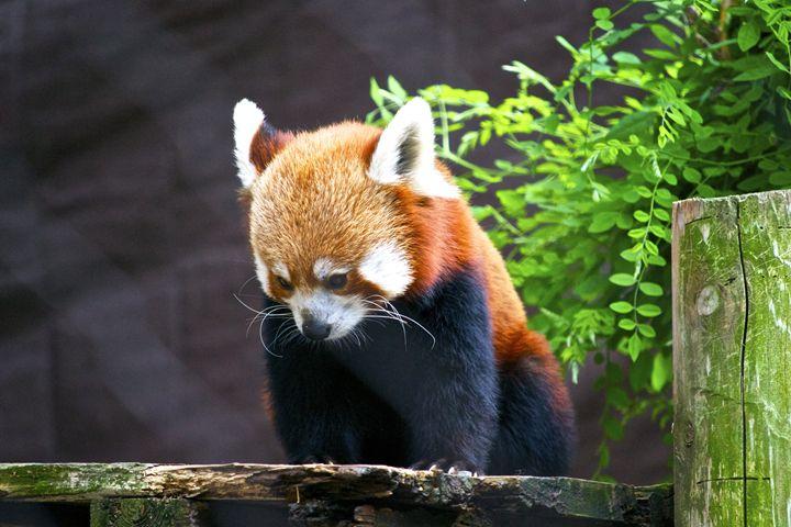 Red Panda - Matt MacMurchy