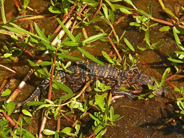Juvenile alligator - Robert Brown Photography