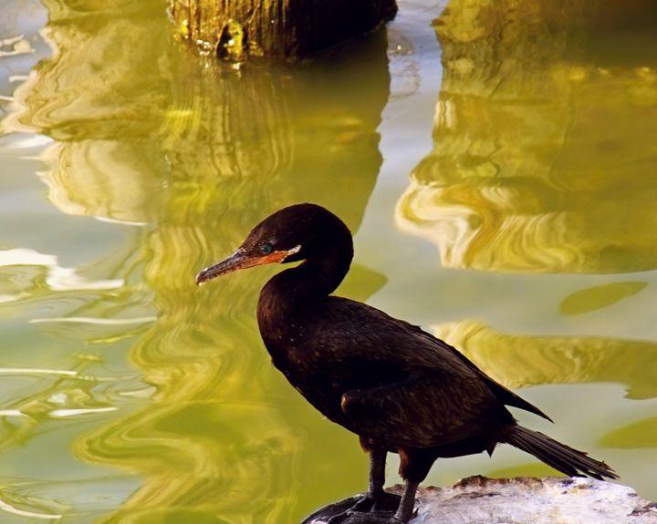 cormorant - Robert Brown Photography