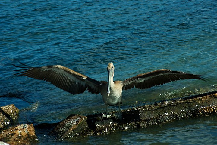 A brown pelican spreads - Robert Brown Photography