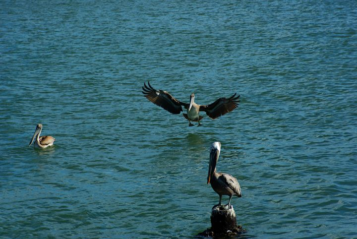 Brown Pelican has it's wings ready t - Robert Brown Photography