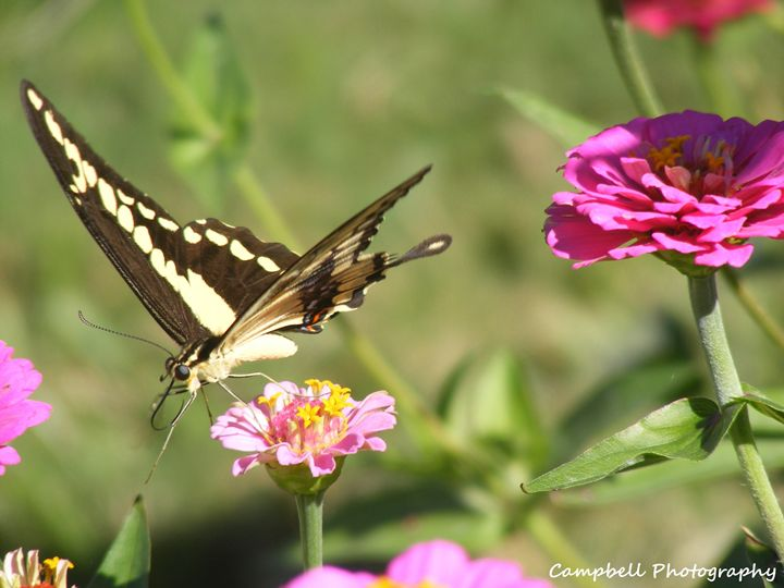 Giant Swallowtail Butterfly - Campbell Photography