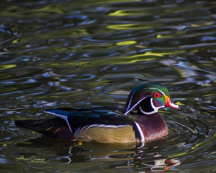 Wood Duck - Alan Comer Photography