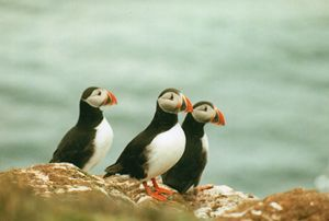 Puffins in Iceland - Carlos' Art Works