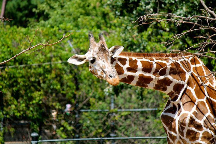 Giraffe - Kate's Photography