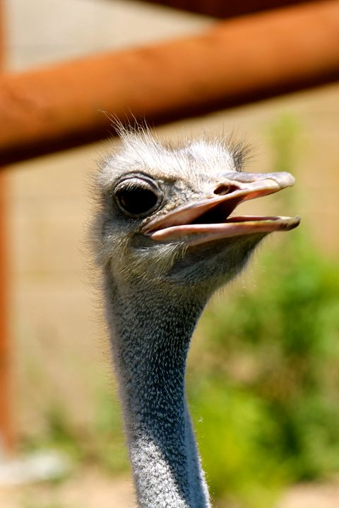 Ostrich Head - Kate's Photography
