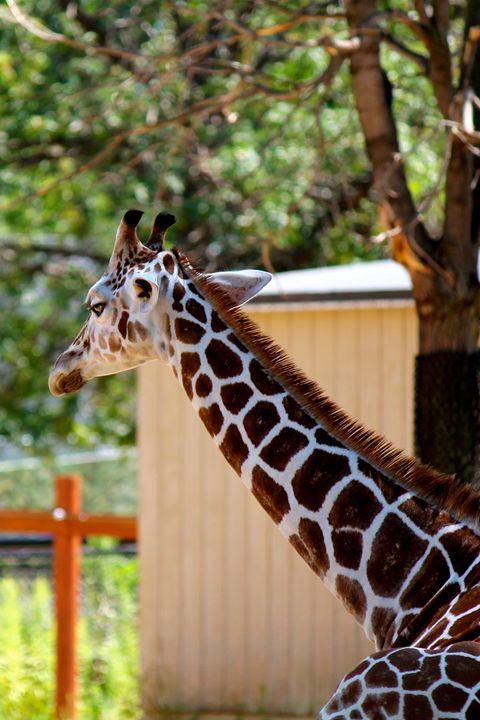 Relaxing Giraffe - Kate's Photography