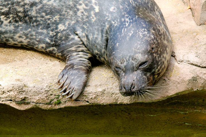 Sleepy Seal - Kate's Photography
