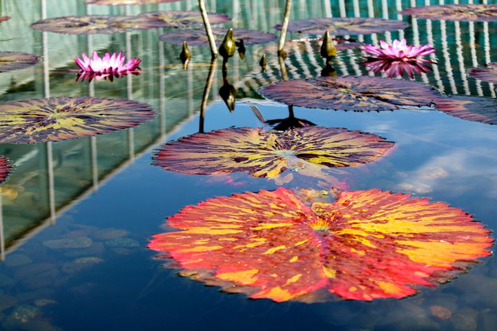 Pink and yellow lily pads - Kate's Photography